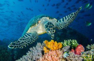 Raja Ampat - diving & turtle viewing in Dampier Straits