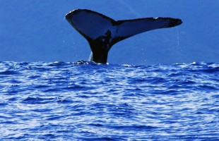 Tahiti_Te_pari_Whale_waving