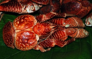 Toau_Coconut_Crab