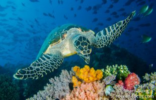 Raja Ampat - diving & turtle viewing in Dampier Straits